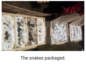 WOW!!! Gombe Exports 400 Snakes To England Every Month