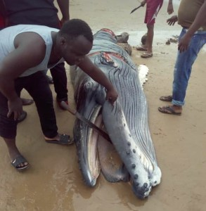 See The Baby Whale killed in a community in Delta State (photos)