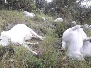 Thunder strikes leaving 15 cows dead in Ekiti