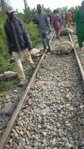 Kwara-bound train kills 47 cows worth over N10m in Osun (Graphic Photos)