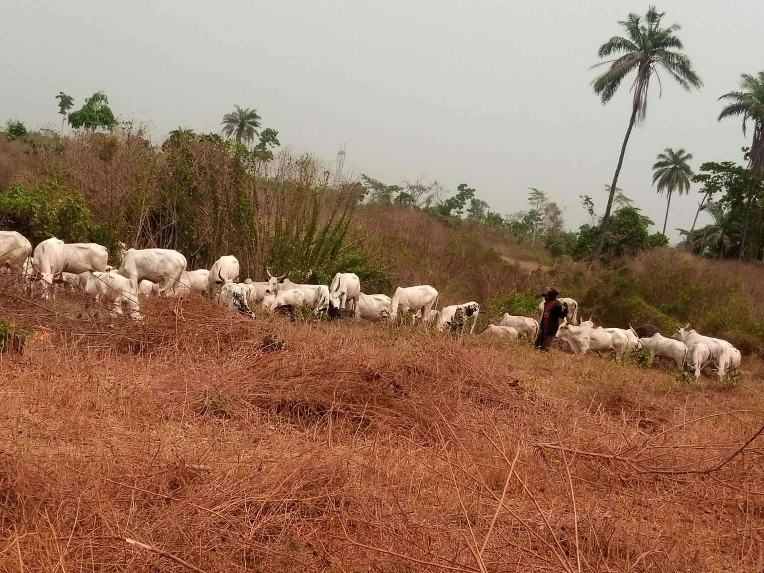 Amotekun flushes over 30 herders, 5,000 cows out of Ondo forest reserves, Amotekun flushes over 30 herders, 5,000 cows out of Ondo forest reserves, Effiezy - Top Nigerian News & Entertainment Website