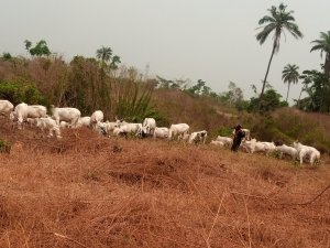 Amotekun flushes over 30 herders, 5,000 cows out of Ondo forest reserves