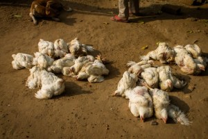 Fear grips Plateau farmers as bird flu strikes again