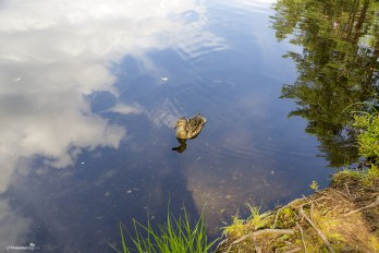 Wildlife at the Nuuksio National Park. The hungry duck that ate a cereal bar from my hand.