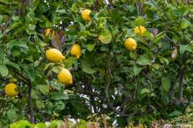 Lemons in Capri