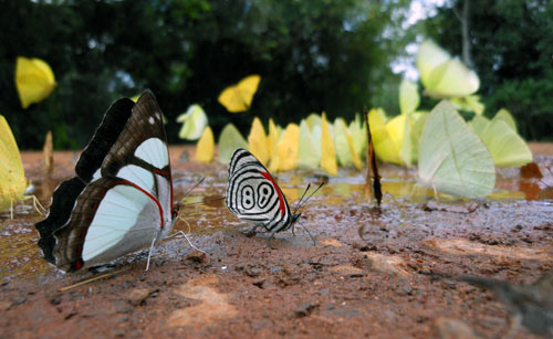 argentina-iguazu-national-park-group-of-butterflies