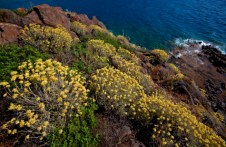 Yellow flowers of Aegean Sea coastline, Turkey