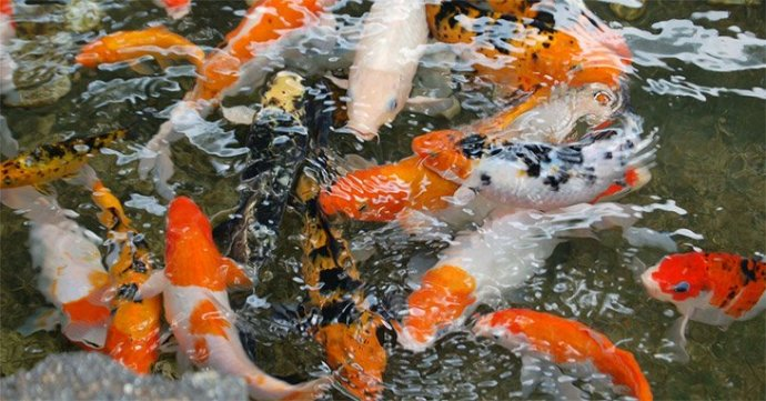 Can goldfish eat koi fish food for Best food for koi fish
