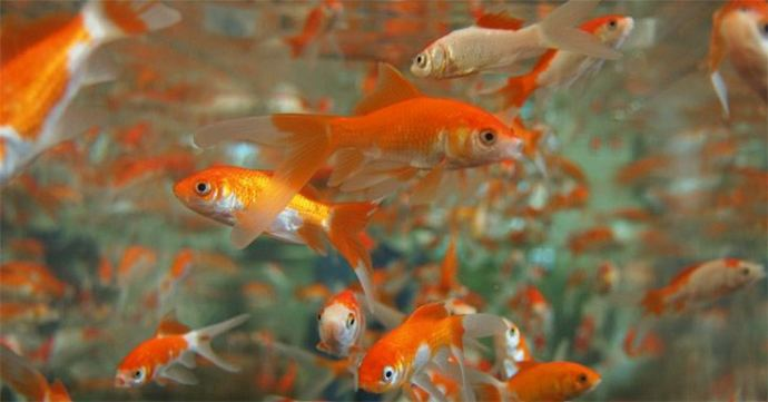 Can Tetra Fish Eat Goldfish Food