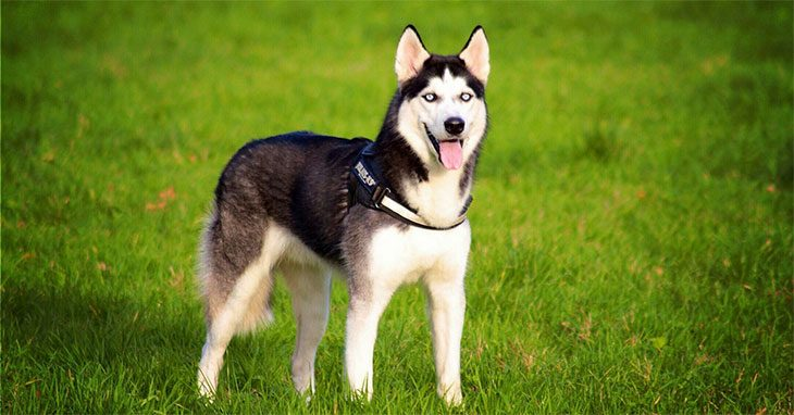 How Much Do Huskies Cost All You Need To Know Before Buying One