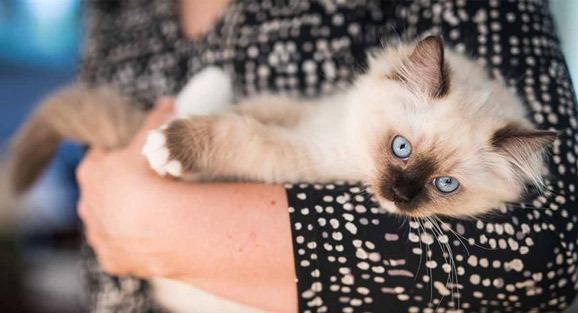 ragdoll-cat-information