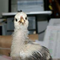 P'Ang : Baby chick looking towards the camera