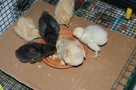 6 baby chicks eating homemade mash on a plate.