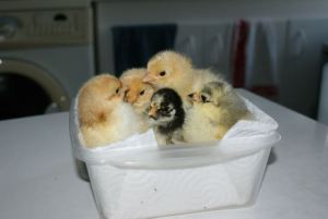 5 baby chicks standing in a plastic box on a table