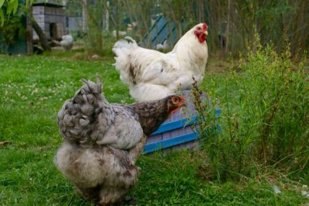 Rooster watching over a hen in a garden