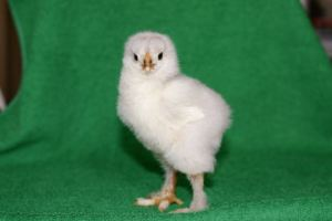Brahma chick standing up