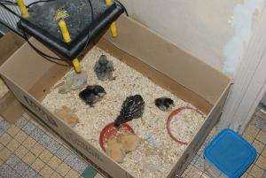 Baby chick cardboard brooder with heating plate