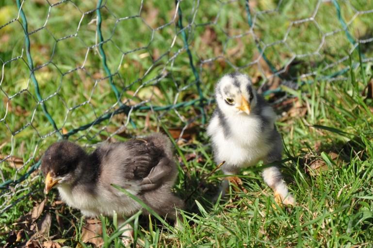 Two brahpi chicks