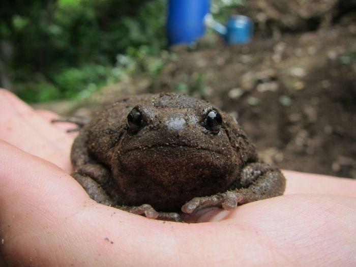 A poor, fat little bullfrog whose rear legs weren't working.