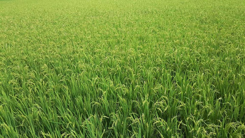 Rice almost ready to be harvested