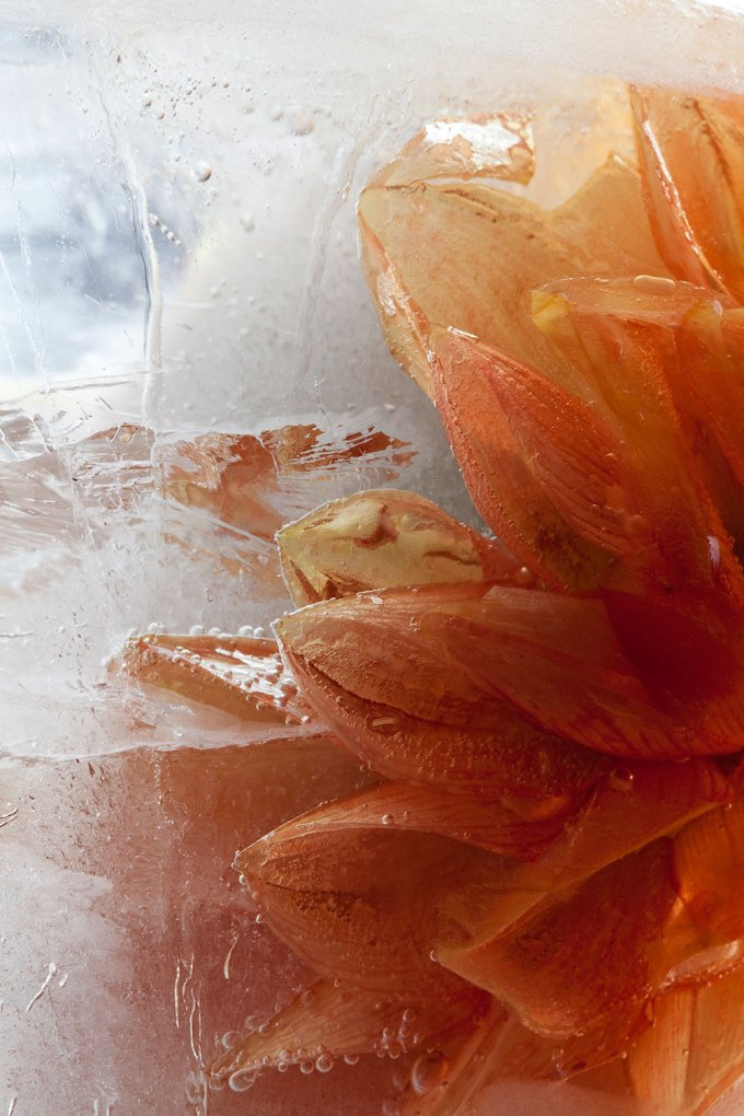Orange dahlia set into ice