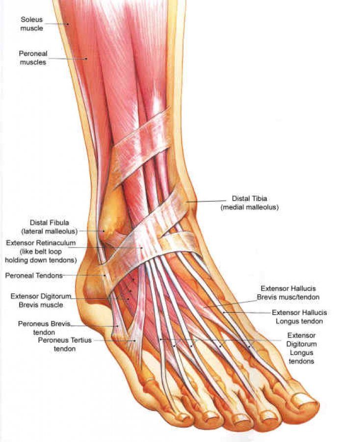 Skeletal Foot Anatomy Ligaments