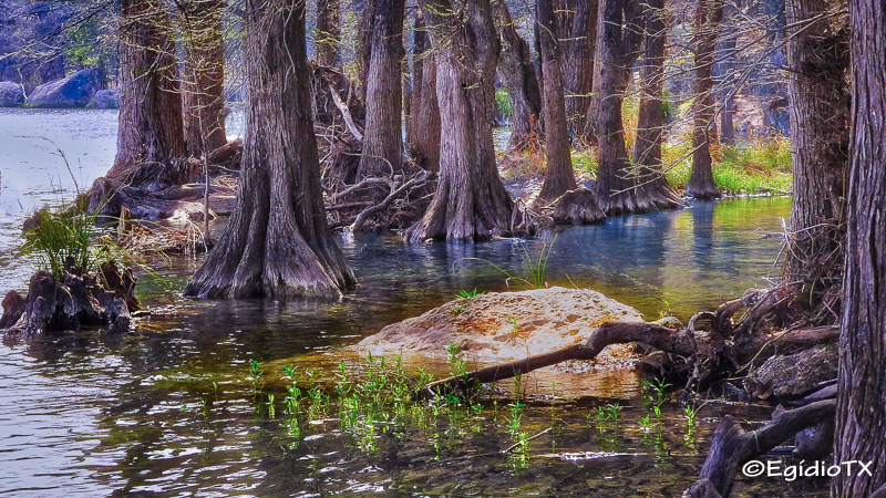 Cypress Trees at the Frio River