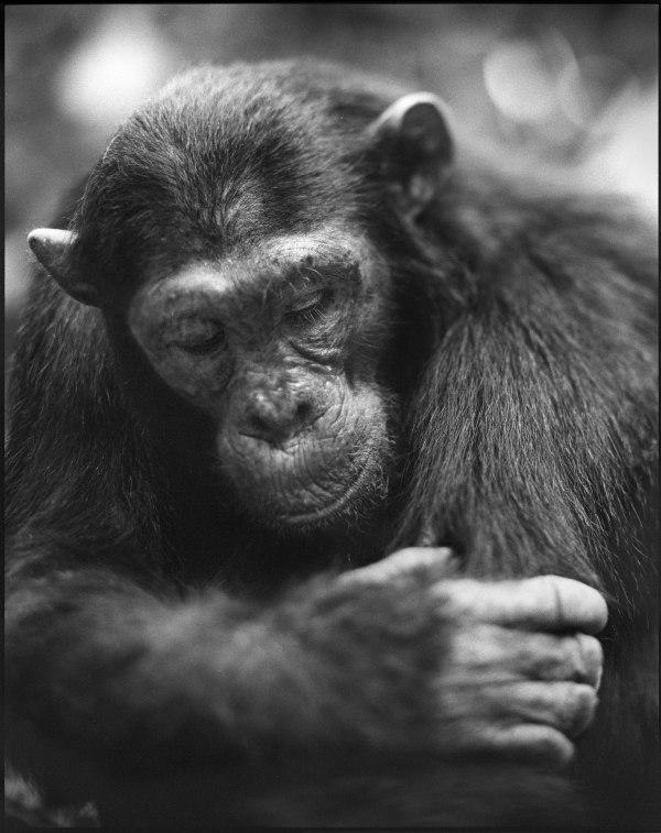 Chimpanzee-with-Lowered-Head