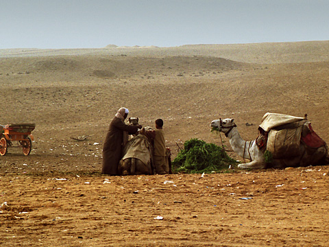 Camels resting on the Giza Plateau