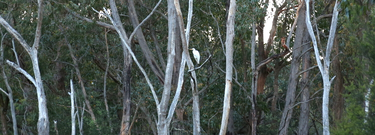 Great egret, Aredea Modesta, November 2012.