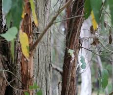 Shows bark of messmate eucalypt , Edward Hunter Heritage Bush Reserve
