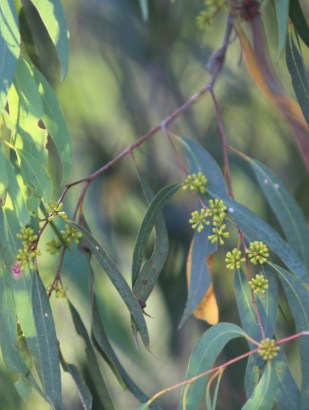Eucalyptus radiata, Edward Hunter Heritage Bush Reserve
