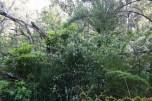 Weeds: cotoneaster, pittosporum and blackberry