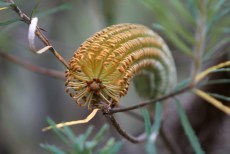 Shows close up of flower of Hairpin banksia (cunninghamii), Edward Hunter Heritage Bush Reserve
