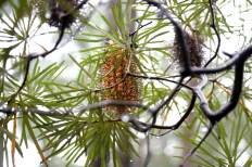 Shows Hairpin banksia (cunninghamii), Edward Hunter Heritage Bush Reserve