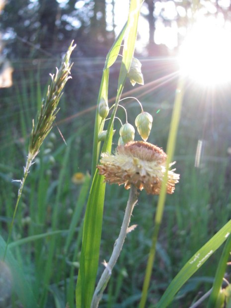 Quaking grass and everlasting daisy, Edward Hunter Heritage Bush Reserve