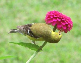 Goldfinch II