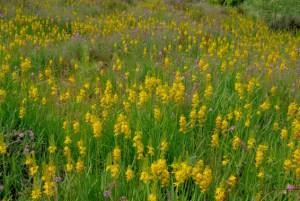 Die Moorlilie (Narthecium ossifragum) kann nur wachsen, wenn sie nicht von Sträuchern verschattet wird. Foto: J. Rodenkirchen