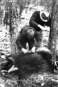 Ohne Furcht fingen die Kaller Jugendlichen eines der Wildschweine ein, die das Vorratszelt geplündert hatten. Die Sau wurde an einem Baum angebunden .Repro: Reiner Züll