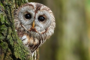 Der Waldkauz ist die häufigste Eule Deutschlands. Foto: Peter Kühn