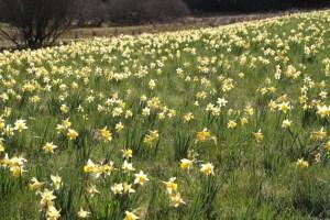 Die Narzissenblüte startet in diesem Jahr früher als je zuvor. Archivbild: Michael Thalken/Eifeler Presse Agentur/epa