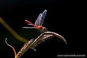 In der Schavener Heide kann man zahlreiche Libellenarten wie hier die Blutrote Heidelibelle beobachten. Foto: Günter Lessenich/NABU Euskirchen