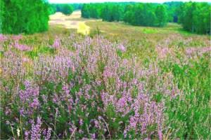 Die Schavener Heide zwischen Euskirchen und Mechernich gehört größtenteils zu einem Truppenübungsplatzgelände der Bundeswehr. Sie wird geprägt durch ausgedehnte Heideflächen. Foto: Jochen Rodenkirchen