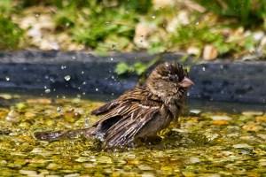 Ein Haussperling beim ausgiebigen Badespaß. Foto: NABU/Günter Lessenich