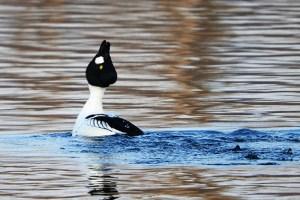 Im Norden Mitteleuropas ist die Schellente ein verbreiteter Wasservogel. Foto: Harald Bender