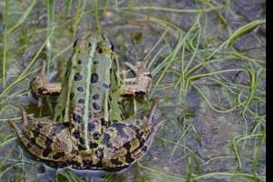 Damit der Wasserfrosch in der Zeit der Amphibienwanderung nicht unter die Räder kommt, müssen ihm manchmal Helfer auf die Sprünge in sicheres Terrain helfen. Foto: NABU/Marion Zöller