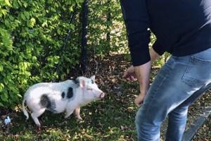 """Das Hausschwein leistete bei seiner """"Festnahme"""" keinen Widerstand. Foto: Polizei Euskirchen"""