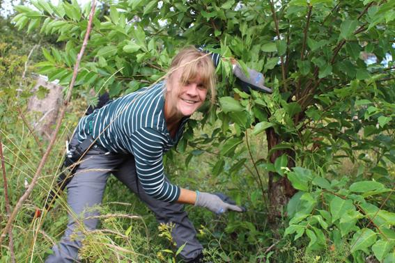 Weg vom Bürostuhl - raus in die Natur: Mit vollem Einsatz ist die Amsterdamer Studentin Sophia Lammering dabei. Am letzten Tag steht das Entfernen von invasiven Pflanzenarten auf der Dreiborner Hochfläche an. Foto: A. Simantke/Nationalparkverwaltung Eifel