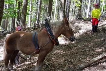 Auf tierische Hilfe im Stadtwald setzt die Stadt Bad Münstereifel. Foto: S. Lott / Stadt Bad Münstereifel