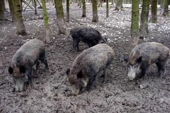 Im großen Gehege der Wildschweine erleben die Kinder die Schwarzkittel Auge in Auge. Foto: Reiner Züll
